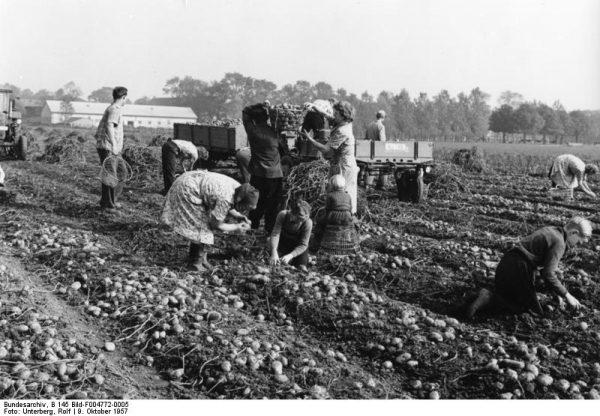 Frauen bei der Kartoffelernte auf Dikopshof bei Sechtem, 9.10.57